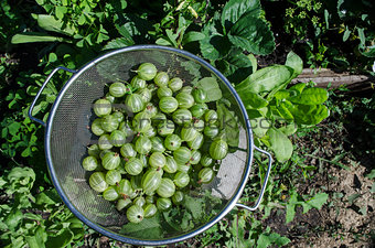 Green gooseberries in a metal bowl