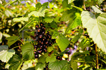 Black currant branch in the garden