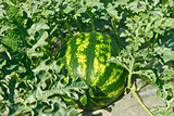 Watermelon ripens in a garden