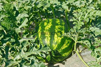 Watermelon ripens in a garden