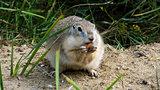 Chipmunk eating almond