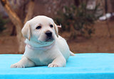 labrador puppy laying on the blue background