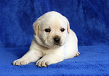 yellow labrador puppy laying on the blue background