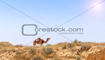 Arabian Camel graze at the Israeli Negev Desert.
