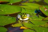Calling Water Frog (Pelophylax)