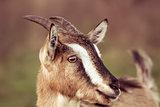 Goat portrait
