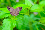 Ypthima baldus baldus or Common Five Ring butterfly