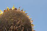 Sunflowers on the blue sky at the end of the summer
