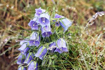 Campanula alpina macro