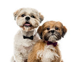 Close-up of two Shih Tzus in front of a white background