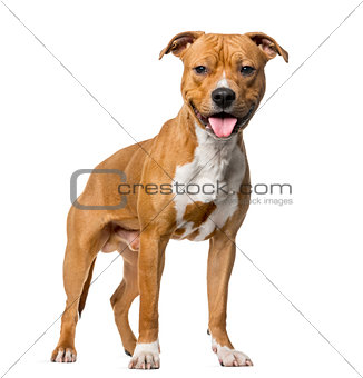 American Staffordshire Terrier (8 months old) standing in front
