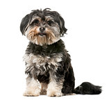 Crossbreed dog (3 years old) in front of a white background