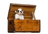 English bulldog puppy in a wooden chest in front of white backgr