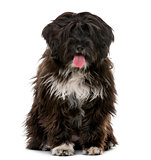 Tibetan Terrier puppy (5 months old) in front of a white backgro