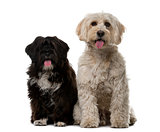 Tibetan Terrier and puppy in front of a white background