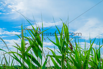 Blades of wild growing grass against a blue sky