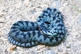 Common european adder
