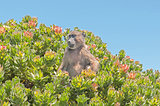 Chacma baboon in a protea shrub at Cape Point