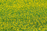 closeup blooming yellow canola