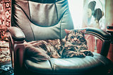 Huge cat Maine Coon lying in a leather chair