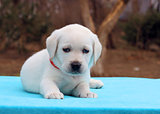 a nice labrador puppy on blue background