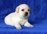 little yellow labrador puppy laying on blue background