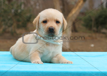 a little yellow labrador puppy laying on blue background