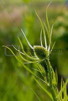 Green plant with egg-shaped head (teasel)