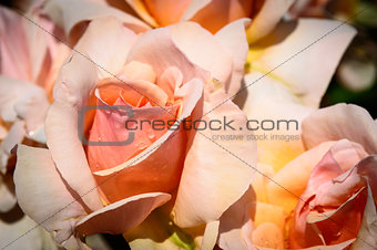 Close Up of a Mother of Pearl Rose