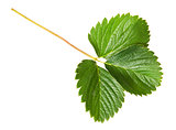 Green strawberry leaf