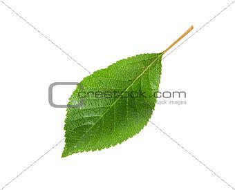 Single green leaf of cherry