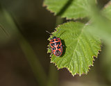 Ornate Shield Bug