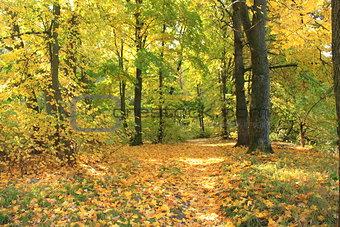 Beautiful autumn forest. Fall scene. Beautiful Autumnal park. Greenwood. Beauty nature scene.