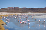 Pink flamingos in wild nature landscape