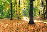 Beautiful autumn forest. Fall scene. Beautiful Autumnal park. Greenwood.