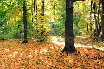 Beautiful autumn forest. Fall scene. Beautiful Autumnal park. Greenwood.