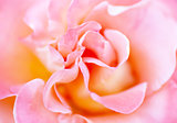 Blurred soft romantic pink rose in vintage style