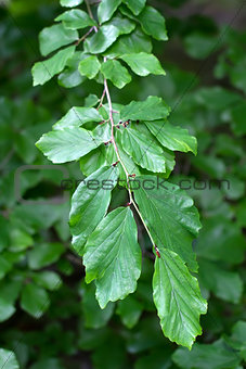 Branch of a Persian Ironwood (lat. Parrotia persica)