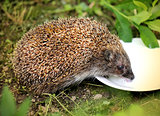 Photo funny hedgehog