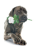 italian mastiff and flower