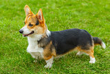 dog Pembroke Welsh corgi smiling