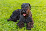 Domestic dog Black Giant Schnauzer breed