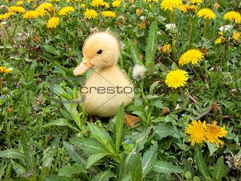 Little Duck Posing