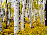 Colorado Aspen Forest in Autumn