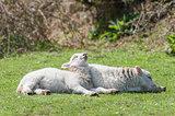 sunbathing lambs