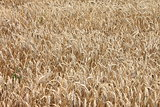 Field of wheat. Natural color