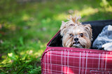 Yorkshire Terrier sitting into suitcase