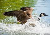 Canada Goose landing on pond in big splash.