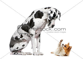 Great Dane sitting and looking at a Chihuahua in front of a whit