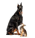 Doberman sitting and looking at a Chihuahua in front of a white
